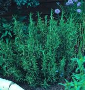 Rosemary - Rosmarinus Officinalis Appx 200 seeds - Herbs